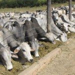 Bois confinados em Minas produzem 80 mil toneladas de carne.Rebanho mantido nos currais e piquetes aumentou 20%