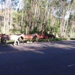 Policia Rodoviaria de Carangola recolheu cavalos soltos na rodovia.