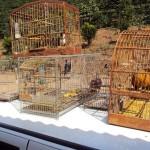 Espera Feliz - PM Ambiental apreende pássaros.