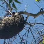 Secretaria de Meio Ambiente de Manhumirim Retira abelhas de Colmeia do Centro da Cidade.