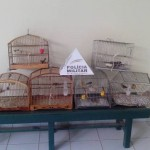 Policia Militar Ambiental de Carangola apreende pássaros.