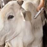 Prazo de vacinação contra febre aftosa termina no domingo (31). Multa por animal não vacinado é de R$ 68,07