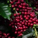 Programa Certifica Minas Café marca presença em todo o país.