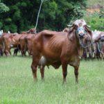Preparativos para o Leilão Girolando Meio Sangue Plus movimentam as Fazendas do BASA.