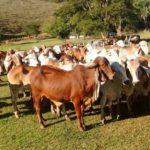 Girolando Sem Fronteiras e  SEMEX promovem visita técnica às Fazendas do BASA.