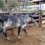 Em propriedades rurais de Macuco e Dores da Vitória: PCMG localiza rebanho de gado.