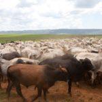 Começa nesta sexta-feira (1/11) a segunda etapa anual da vacinação de bovinos e bubalinos contra febre aftosa