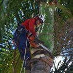 Manhuaçu-Secretaria de Agricultura inicia poda das palmeiras.