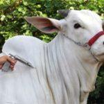 Vacinação contra a febre aftosa em Minas continua neste mês de junho.